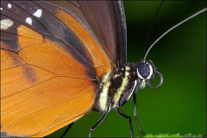 oeil de papillon, plus écailles sur aile, suite Photo_48