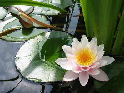 Réunir les 4 causes pour NAITRE en DEOUATCHEN... Lotus11