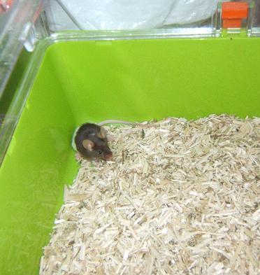 Plein de petites souris à l'adoption ! Intagr13