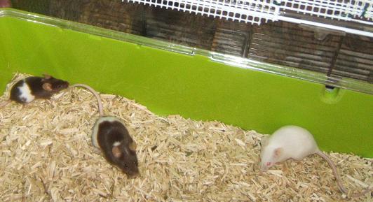 Plein de petites souris à l'adoption ! Intagr14