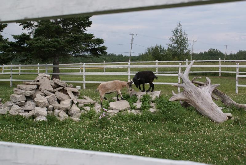 Besoin d'informations sur les chèvres, SVP ! 04210