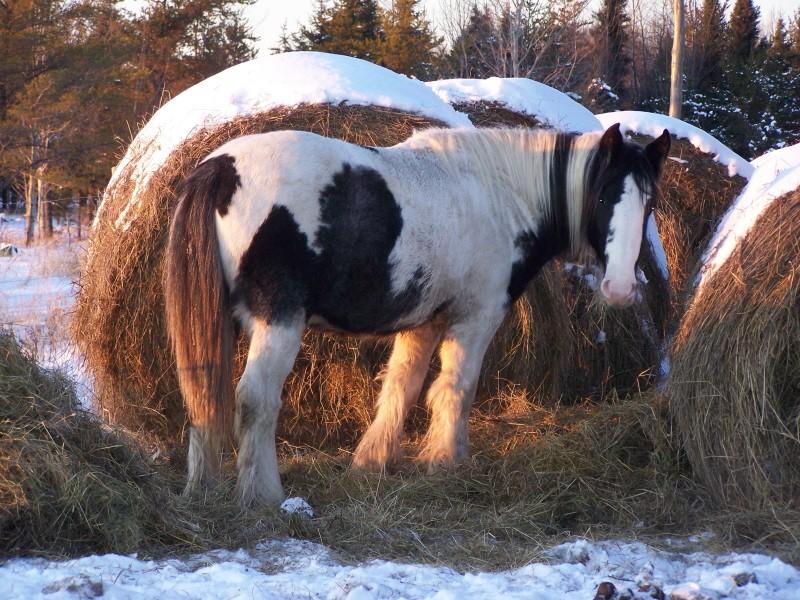 Gypsies et clydes dans la neige ...au québec !!! (new p3) 100_7011