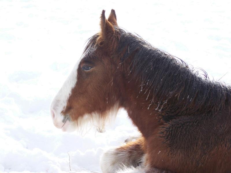Gypsies et clydes dans la neige ...au québec !!! (new p3) Bon10