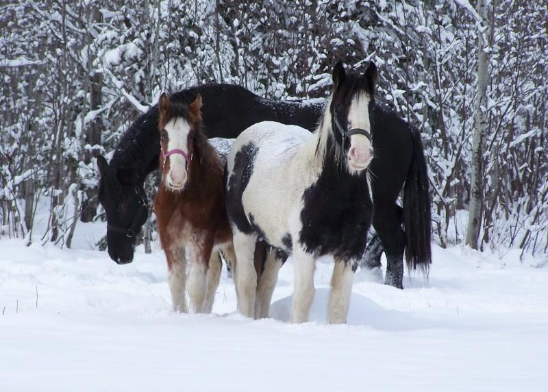 Gypsies et clydes dans la neige ...au québec !!! (new p3) Bonnie14