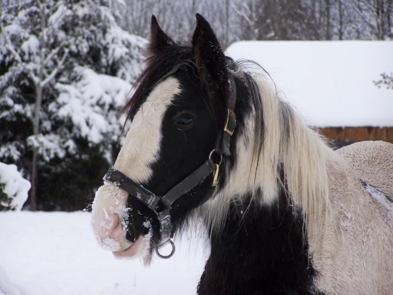 Gypsies et clydes dans la neige ...au québec !!! (new p3) Portra10