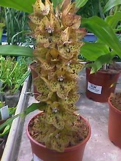 identification de cette orchidée Image_10