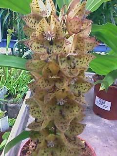 identification de cette orchidée Image_11