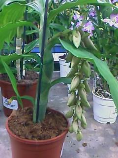 identification de cette orchidée Image_12