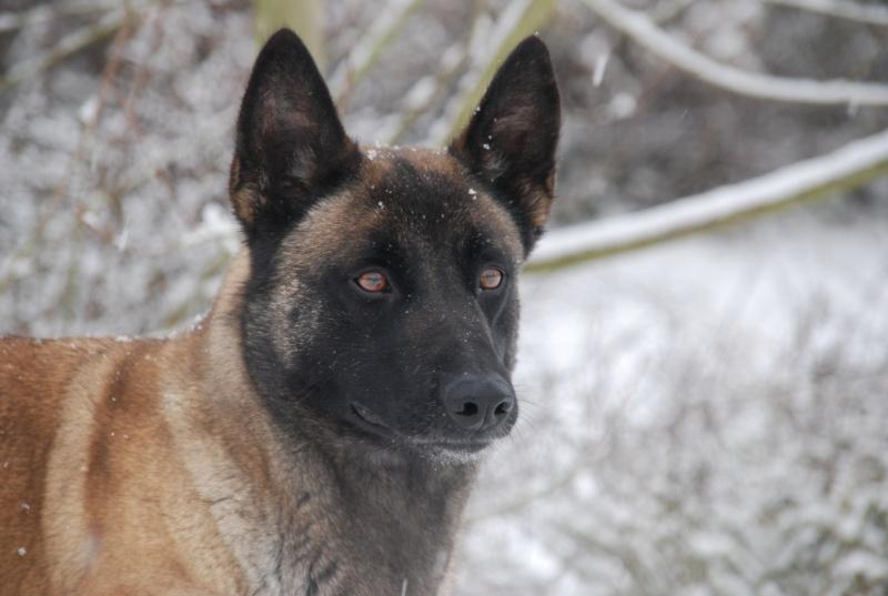 vega & chihuahua sous la neige Dsc_0011