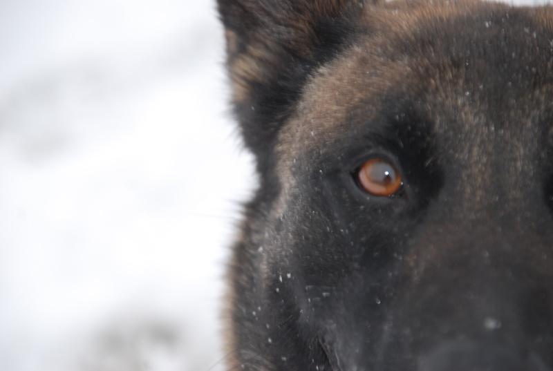 vega & chihuahua sous la neige Dsc_0014