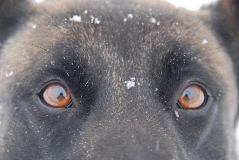 vega & chihuahua sous la neige Dsc_0015