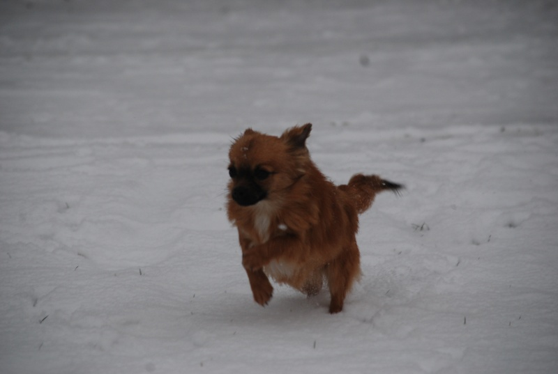 vega & chihuahua sous la neige Dsc_0018