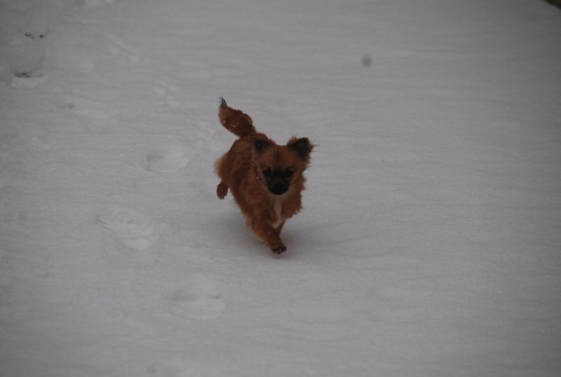 vega & chihuahua sous la neige Dsc_0020