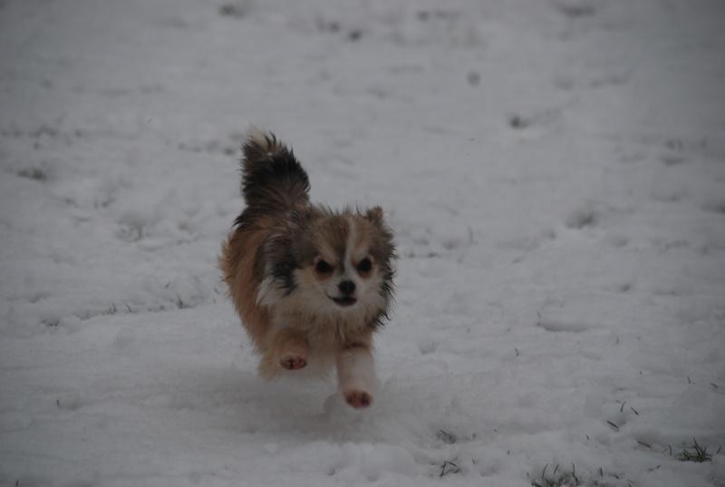 vega & chihuahua sous la neige Dsc_0023