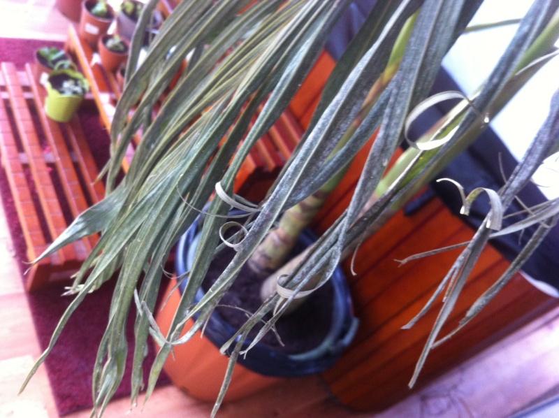 Palmier avec les feuilles qui sèchent Photo210