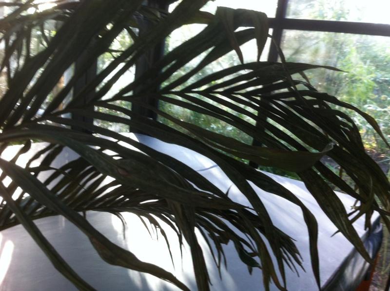 Palmier avec les feuilles qui sèchent Photo310