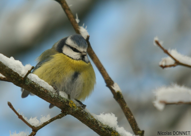 Oiseaux de nos jardins......... Masang10