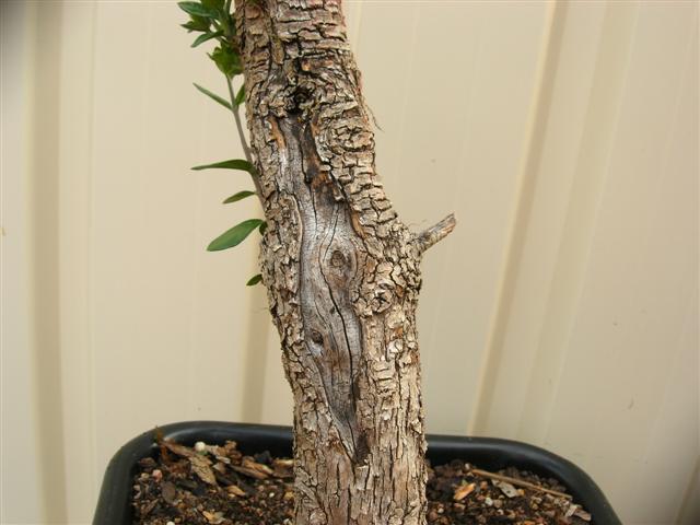 Vos idees pour la formation d'un olivier Bois_m10