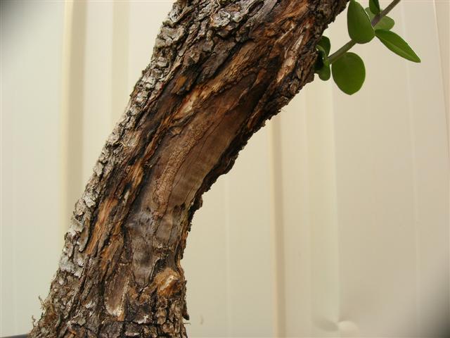 Vos idees pour la formation d'un olivier Bois_m11