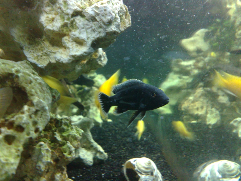 Melanochromis chipokae 11102010