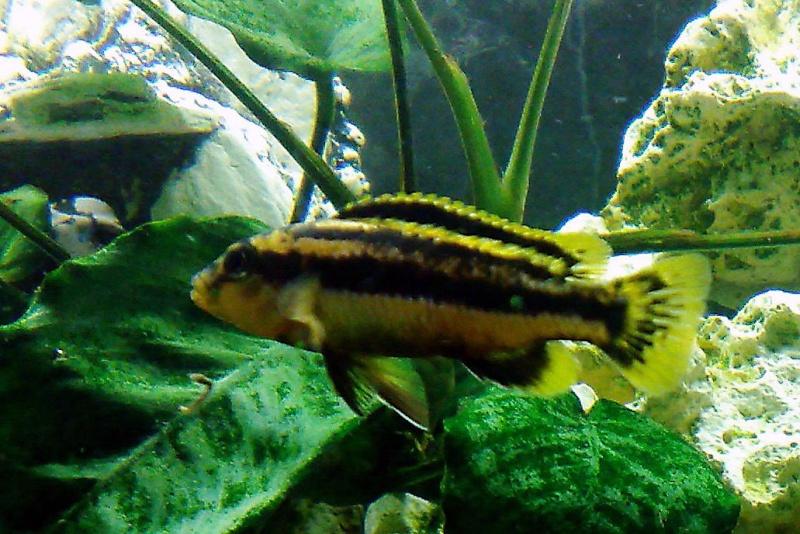 Melanochromis chipokae 17112018