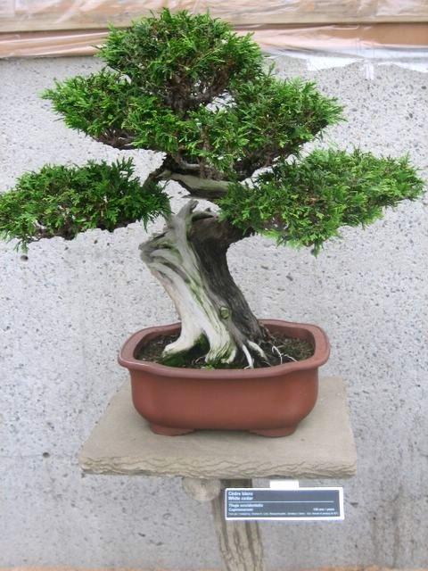 crassula en bonsai Quebec10