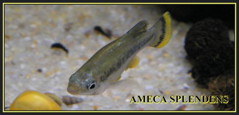 Ameca splendens souche 01, AFV 2004 Dscf0210