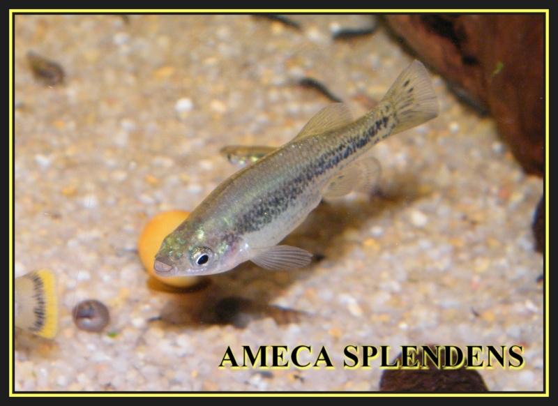 Ameca splendens souche 01, AFV 2004 Dscf0211