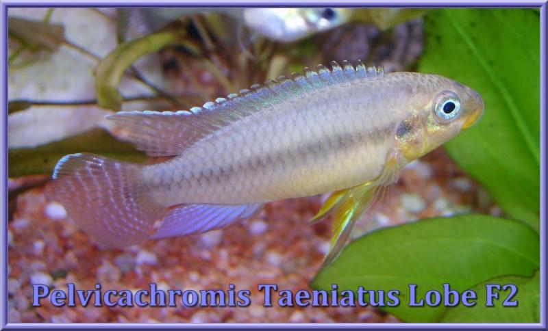 Pelvicachromis Taeniatus Lobe F2 S6000313