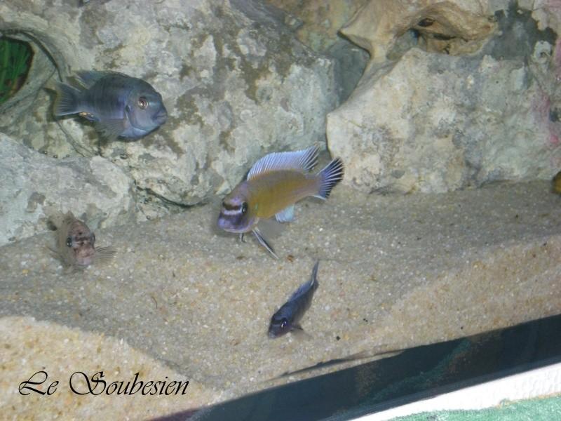 """Labeotropheus trewavasae """"chilumba"""" Chilum10"""