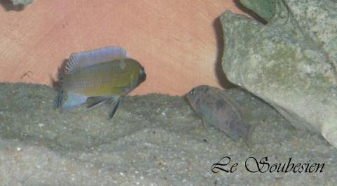 "Labeotropheus trewavasae ""chilumba"" Labeot12"