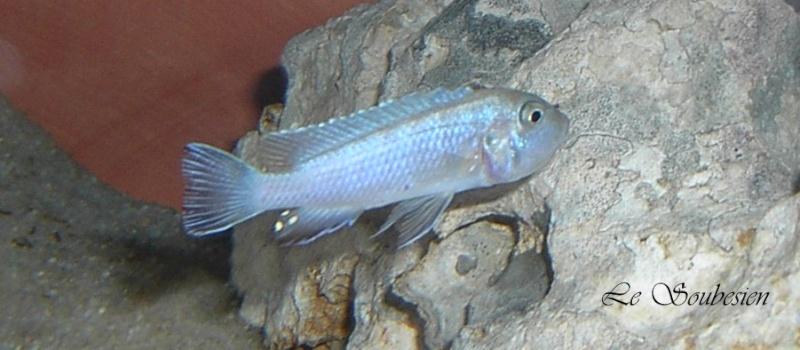 Pseudotropheus Heteropictus Chizumulu Pseudo10