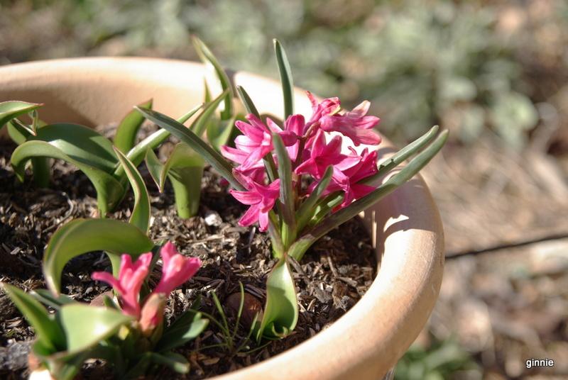 Plantation, culture et floraison des bulbes, des rhizomes, des griffes Imgp5618