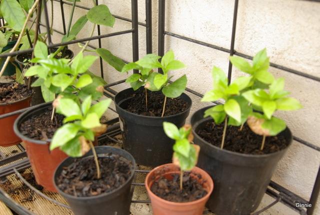 Le caféier  (Coffea arabica)-comme plante d'intérieur  Le caféier - Page 2 Imgp6114