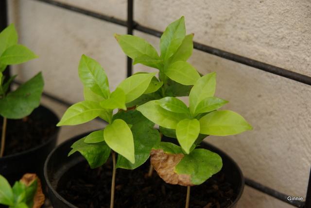 Le caféier  (Coffea arabica)-comme plante d'intérieur  Le caféier - Page 2 Imgp6115