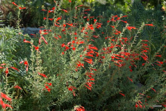 Zauschneria Californica ou Fuchsia de Californie Imgp6132