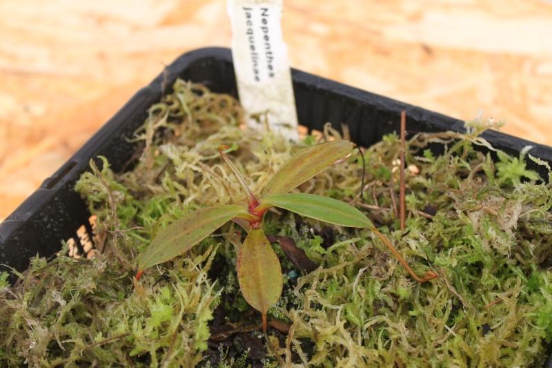 Evolution Urne jacqquelinae Img_3110