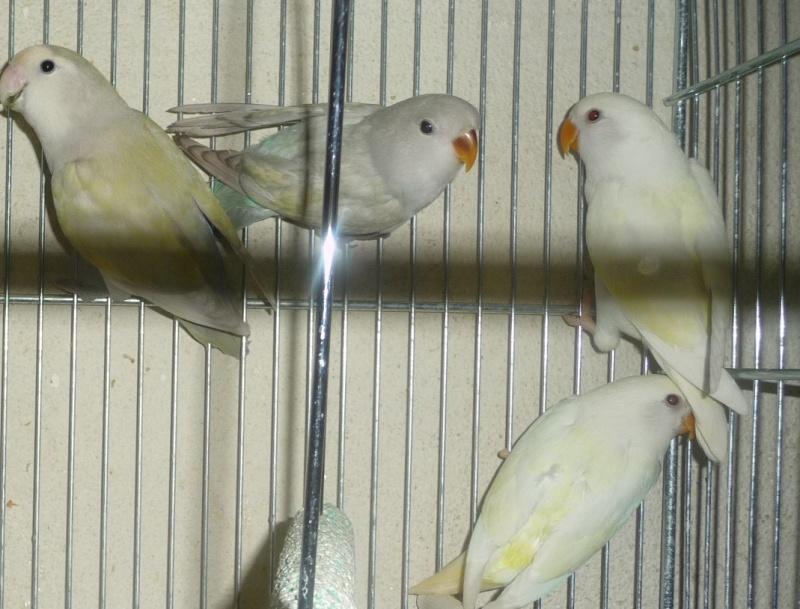 quelle est à votre avis la mutation de ces oiseaux  P1130911