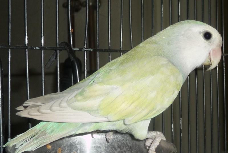 quelle est à votre avis la mutation de ces oiseaux  P1170013