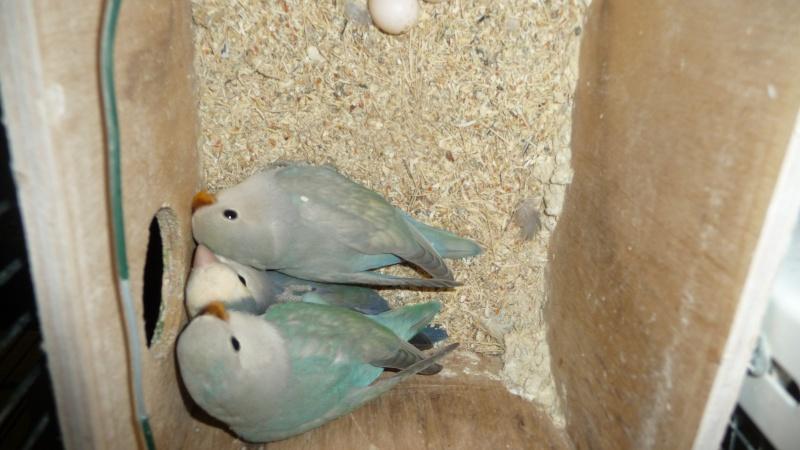 quelle est à votre avis la mutation de ces oiseaux  P1170525
