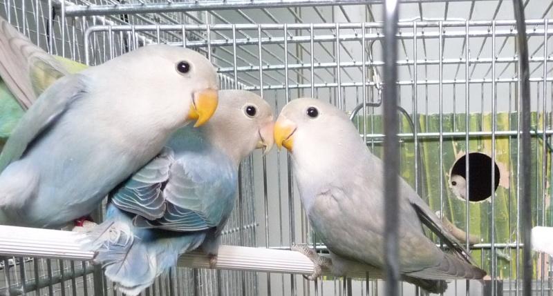 quelle est à votre avis la mutation de ces oiseaux  P1170814
