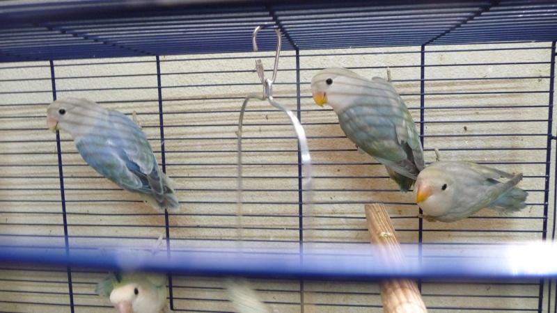 quelle est à votre avis la mutation de ces oiseaux  P1180110