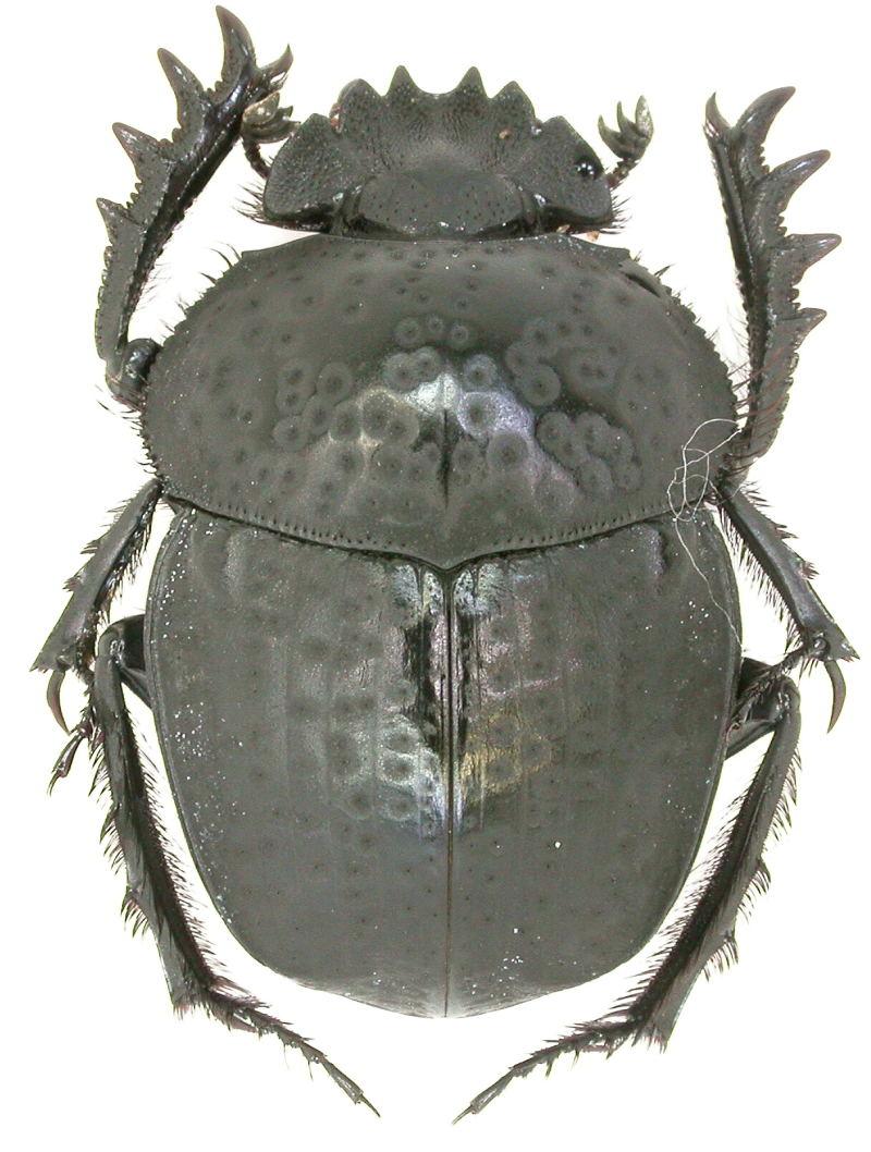 [Scarabaeus (Ateuchetus) cicatricosus] scarabée du Portugal Copie_67