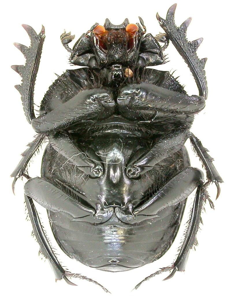 [Scarabaeus (Ateuchetus) cicatricosus] scarabée du Portugal Copie_68