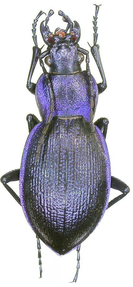 [C.(Mesocarabus) problematicus solutus ] ( = campinus, = belgicus ),  Belgique Dscn7010