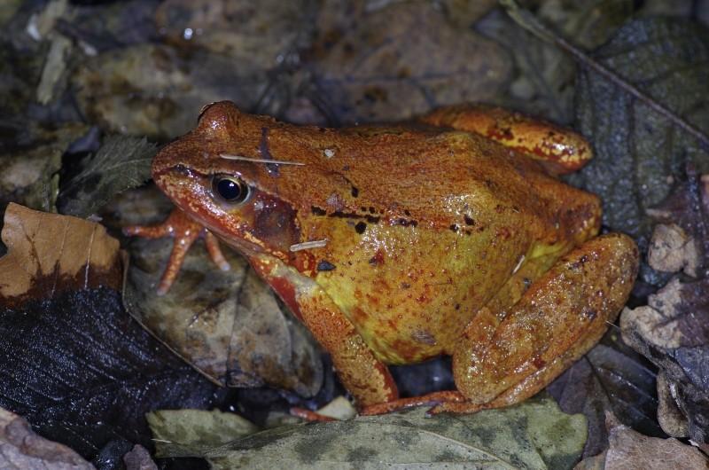 Sauvetage d'amphibiens _dfg6212