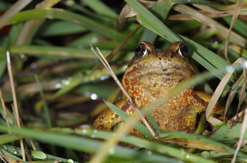 Sauvetage d'amphibiens _dfg6213