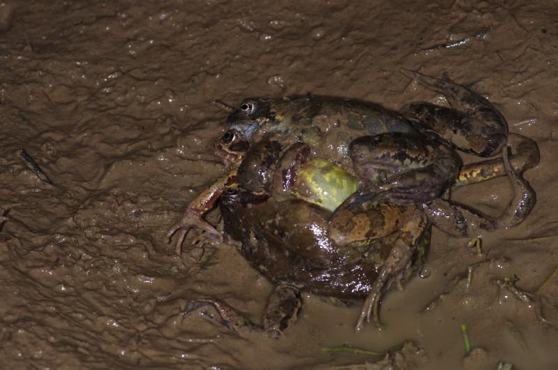 Sauvetage d'amphibiens _dfg6216