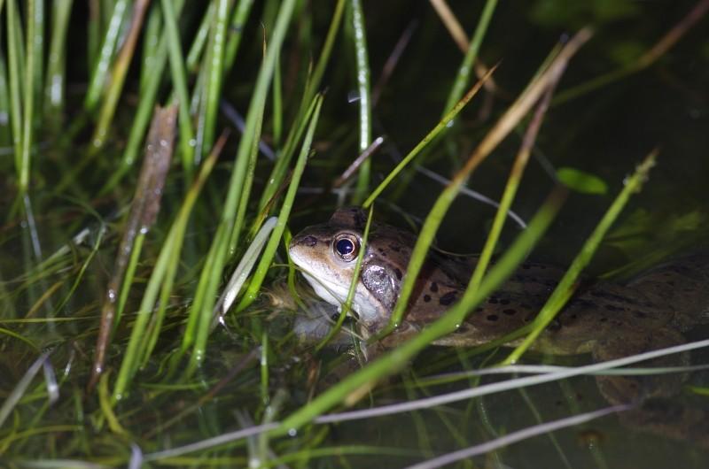 Sauvetage d'amphibiens _dfg6310