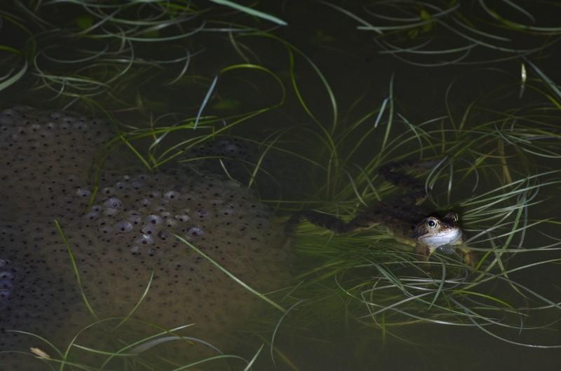 Sauvetage d'amphibiens _dfg6313